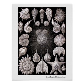 Ernst Haeckel Thalamphora Póster