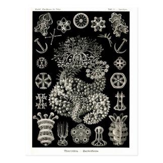 Ernst Haeckel Thuroidea Sea Cucumbers Postcard