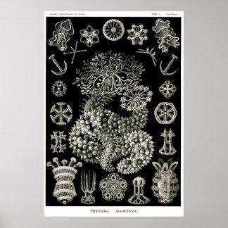 Ernst Haeckel Thuroidea Sea Cucumbers Poster