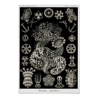 Ernst Haeckel Thuroidea Sea Cucumbers Posters