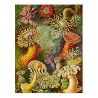 Ernst Haeckel's Actinae Ocean Life Postcard
