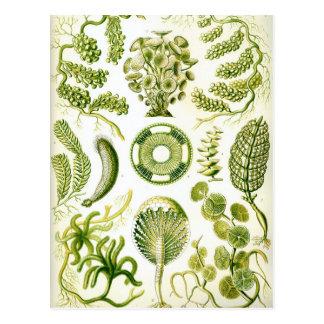 Ernst Haeckel's Siphoneae Seaweed and Algae Postcard