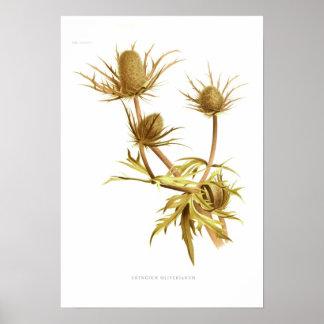Eryngium oliverianum poster