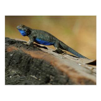 Escalas azules del Belly de los lagartos Tarjeta Postal