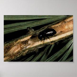 Escarabajo común del lanzamiento del pino impresiones