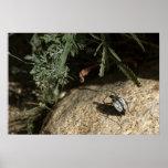 Escarabajo de la araña del desierto impresiones