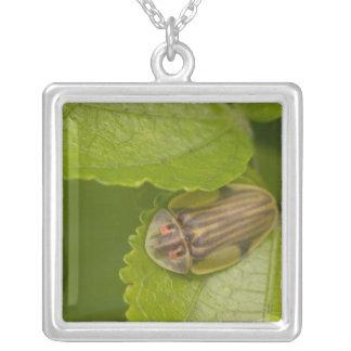 Escarabajo de la concha, bosque de la nube, Costa Colgante Cuadrado