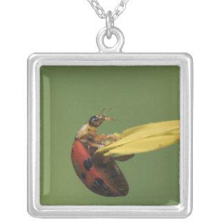Escarabajo de la mariquita, Coccinellidae, adulto Colgante Cuadrado