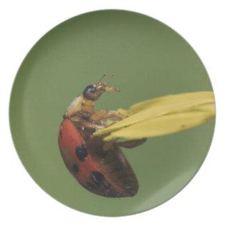 Escarabajo de la mariquita, Coccinellidae, adulto  Plato
