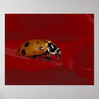 Escarabajo de la mariquita. (Convergens del Hippod Póster