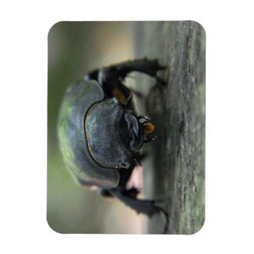 Escarabajo de macho rectangle magnet