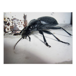 Escarabajo de tierra póster