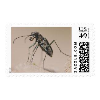 Escarabajo de tigre, ocellata de Cicindela, adulto Sellos
