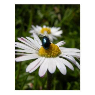 Escarabajo del primer que se sienta en la foto de tarjetas postales