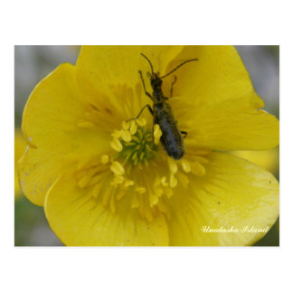 Escarabajo en un ranúnculo, isla de Unalaska Postales