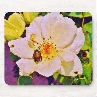 Escarabajo japonés en el rosa blanco