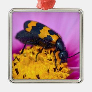 Escarabajo macro de los mylabris en la flor ornato
