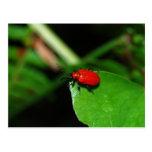 Escarabajo rojo brillante en la hoja verde postal