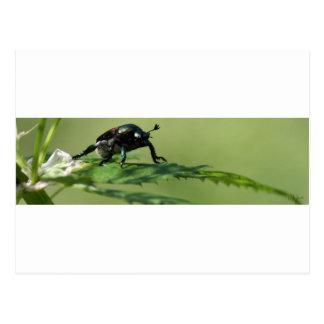 Escarabajo Tarjeta Postal