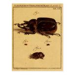 Escarabajos de rinoceronte postales