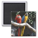 Escarlata/azul e imán del Macaw del oro