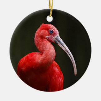 Escarlata Ibis
