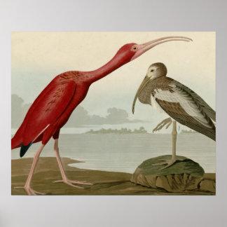 Escarlata Ibis Impresiones