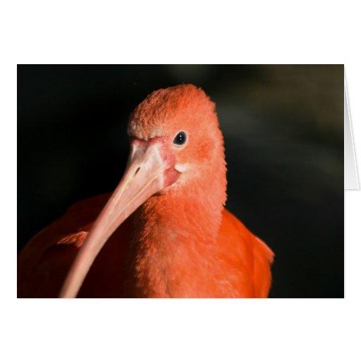 Escarlata Ibis • Tarjeta de felicitación