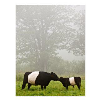 Escena brumosa de la vaca ceñida de Galloway que l Tarjeta Postal