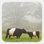 Escena brumosa de la vaca ceñida de Galloway que Pegatina Cuadrada
