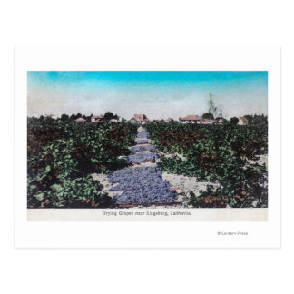 Escena del viñedo de las uvas DryingKingsburg, CA Postal