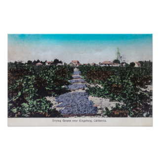 Escena del viñedo de las uvas DryingKingsburg, CA Póster