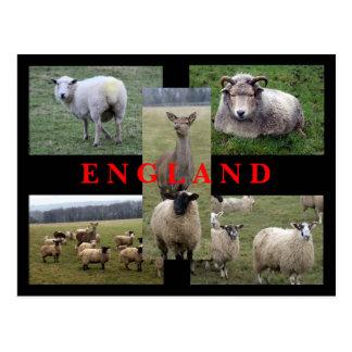 Escenas inglesas de las ovejas postal