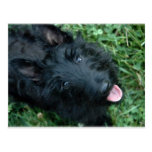 Escocés Terrier en la hierba - Scotty lindo Postal