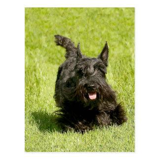 Escocés Terrier que corre libremente Postales