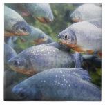 Escuela de las pirañas (nattereri de Pygocentrus) Azulejo Cuadrado Grande