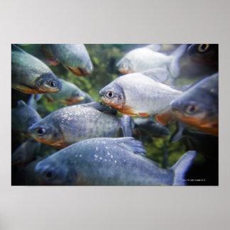 Escuela de las pirañas (nattereri de Pygocentrus) Impresiones