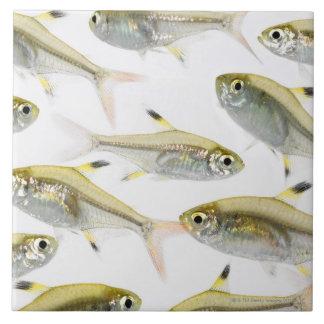 Escuela de los tetra pescados de la radiografía (P Azulejo Cuadrado Grande