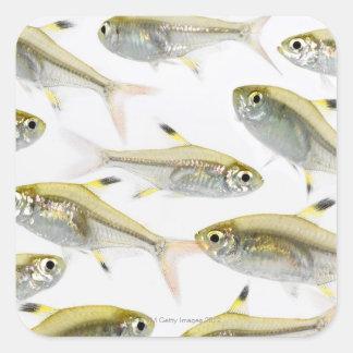 Escuela de los tetra pescados de la radiografía pegatina cuadrada