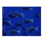 Escuela de unicornfish liso-dirigidos postales