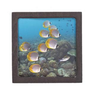 Escuela del angelfish caja de regalo de calidad