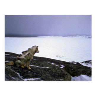 Eskimo sled dog, Baffin Island Postcard