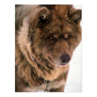 Eskimo Sled Dog Post Card