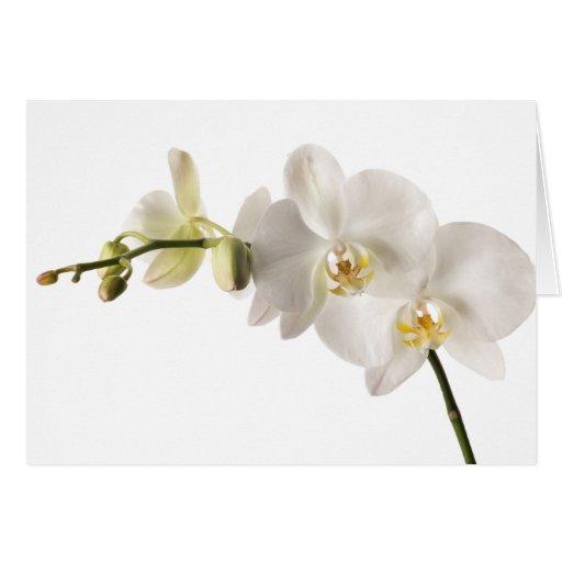 Espacio en blanco floral del Dendrobium de la Tarjeta Pequeña