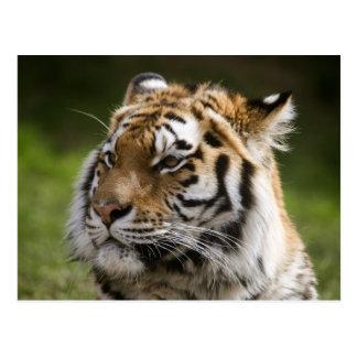 Especie Info del tigre de Amur Tarjeta Postal