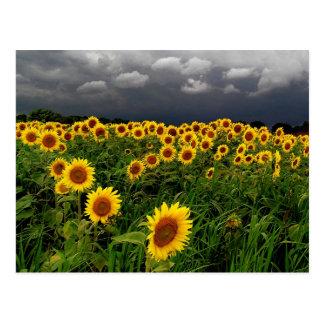 Esperando, campo del girasol, nubes de tormenta postales