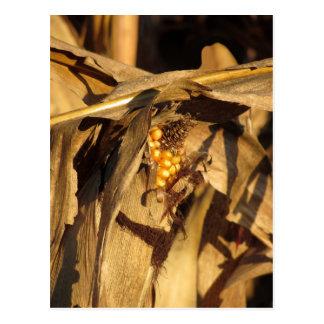 Espiga de trigo madura en la puesta del sol tarjeta postal