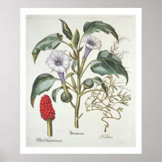 """Espina Apple, del """"Hortus Eystettensis"""" por Bas Impresiones"""