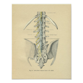 Espina dorsal lumbar anatómica de Frohse del vinta Posters