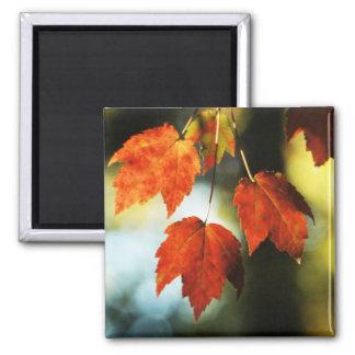 Esplendor del otoño imán cuadrado